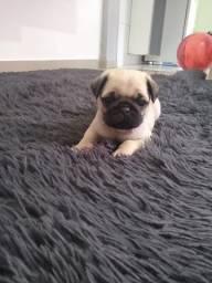 Pug macho pedigree