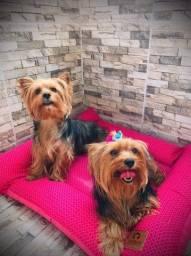 2 lindas fêmeas Yorkshire Terrier