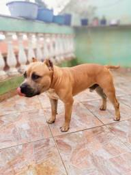 Filhotes American Staffordshire x American Pit Bull Terrier