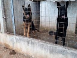 Cães de guarda pastor alemão filhotes