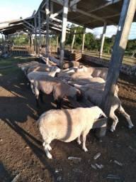 8,5kg terneiras e ovelhas na balança