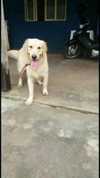 Golden Retriever com registro pedigree