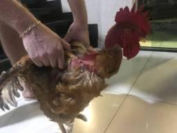 Vende-se ultimo frangos