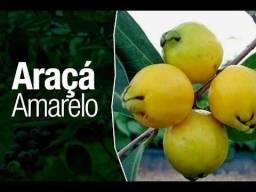 Mudas Frutíferas-Itapetininga