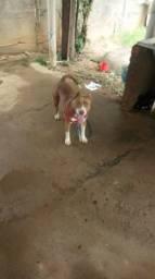 American Pitbull Terrier