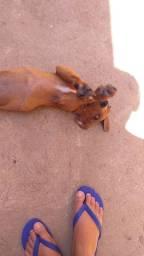 Cachorro raça mista (labrador com salsicha)