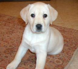 Filhotes de Labrador Macho e fêmea/vermifugados e vacinados