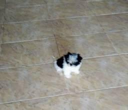 Vendo um mini filhote de SHIHTZU (último Macho)