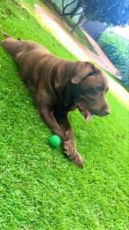 Labrador puro para cruzamento: busca labradora