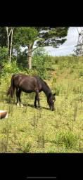 Petiço preto cavalo