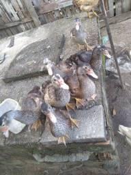 Troco pato por galinha