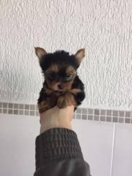 Yorkshire Terrier bebês muito fofos!