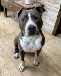 Filhotes amstaff american staffordshire terrier, não é pitbull