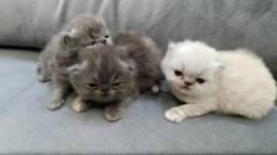 Gato Persa e Exótico Padrão Show! Lindos filhotes!