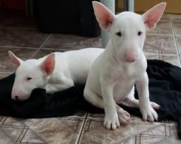 Bull Terrier - Filhotes
