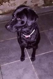 Labrador doação