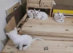 Adoção responsável de gatinhos brancos