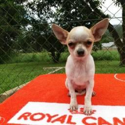 Belíssimo Chihuahua