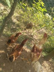 1 Galo e 2 galinhas índio gigantes