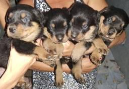 Filhotes de Rottweilers (Fêmeas)