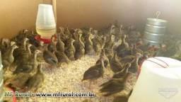 Vendo filhotes de galinha dangola em Guarapari ES 50 reais