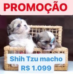 ATENÇÃO Shih Tzu mini macho 1.099 contrato garantia procedência