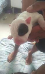 Filhotes de pitbull american