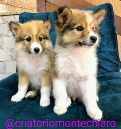 Lindos machos de border collie top 65dias