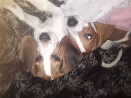 Beagle com 5 meses