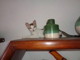 2 Gatos machos para adoção - Garanto Castração