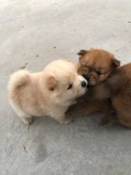 Vendo Filhotes de Chow Chow Puro