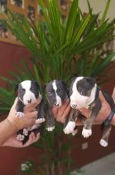 Filhotes De Bull Terrier Disponíveis De Qualidade E Procedência Imbatíveis Compre Já O Seu