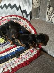 Fofos bebês Dachshund (machos e fêmeas) disponíveis