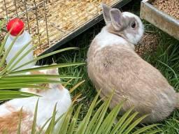 Vendo um casal de mini coelhos Anão Holandês com gaiola.