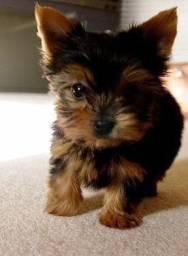 Yorkshire Terrier tamanhos micro e padrão, machos e femeas, a pronta entrega