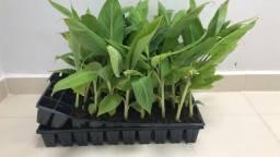 Mudas bananeira catarina ana precoce clonadas P jardim ou produtividade