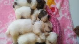 Lindos filhotes de Shitzu