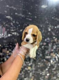 Beagle filhotes lindos e com garantias!!!