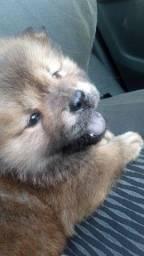 cachorro Chow Chow filhote