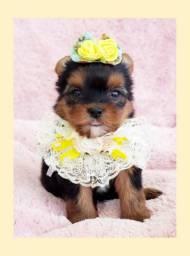 **Filhote de yorkshire fêmea tamanho mini, aqui no Namu Royal **