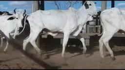 60 Vacas Nelore prenhes de 13 a 14@ em Goianésia GO