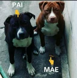 Pitbull - American Staffordshire Terrier