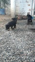 Vendo filhote de rottweiler puro de pai e mãe muito top
