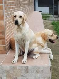 Labradores Amarelos - 01 fêmea disponível