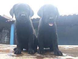 Labrador filhote com pedigree