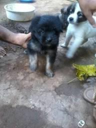 Vende-se 3 cachorrinhos uma fêmea e dois machos shih-tzu misturado com poodle