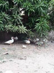Vendo patos adultos 70 reais
