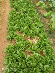Vende se verduras orgânica