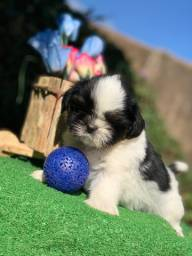 Shih tzu machinho