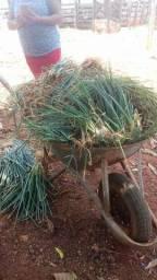 Cebolas Para Plantar